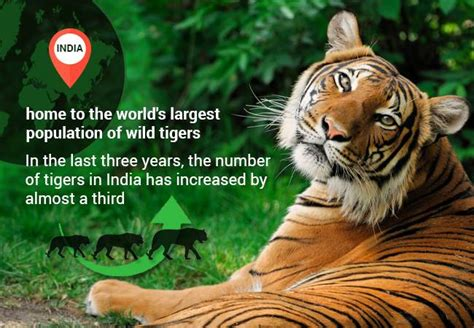 facts about the new year tiger global tiger population rises for time in century 7