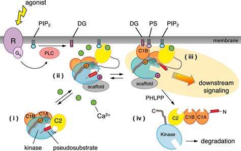 c protein kinase conventional protein kinase c in the brain 40 years later