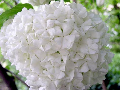 Imagenes Flores Hortensias | flores blancas hortensias im 225 genes y fotos