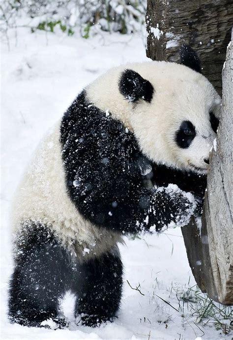 cute rustic mountain woods black bear upside down hook new panda in the snow just because pinterest