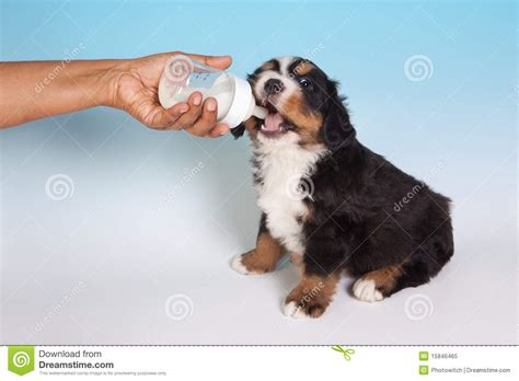 dogs drink milk milk royalty free stock photo image 15846465