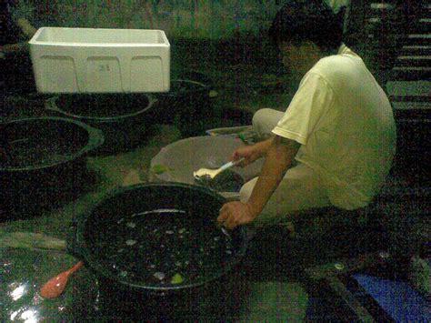 Bibit Lele Sangkuriang Bogor jual bibit benih lele sangkuriang dan benih lele piton