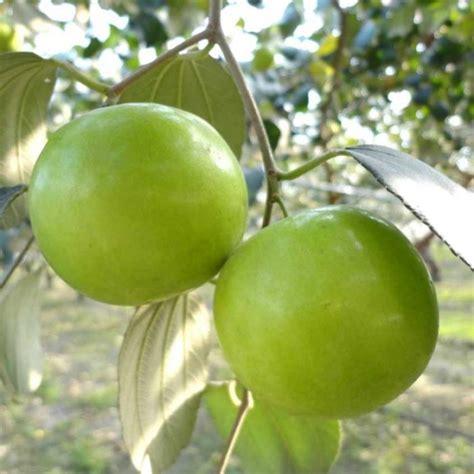 Buah Apel aneka jenis bibit tanaman buah yang cocok untuk