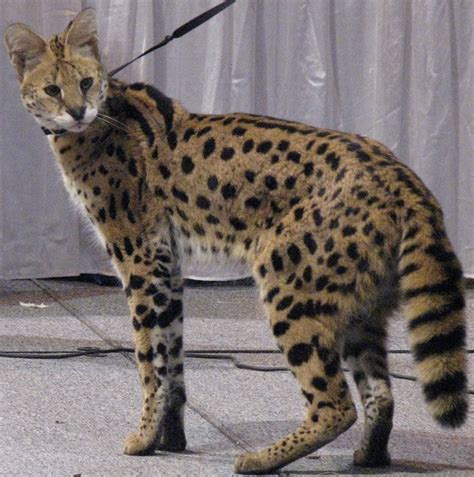 cat that acts like a you could get a serval it s a cat that 81539931 added by drunkasaurus at