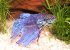 fish pictures siamese fighting fish betta splendens