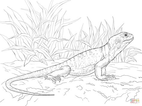 collared lizard coloring page eastern collared lizard coloring download eastern