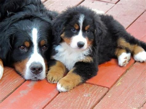 bernese mountain puppies california best 20 bernese mountain breeders ideas on