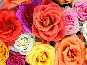 wallpaper download flower rose flowers wallpapers roses flowers wallpapers