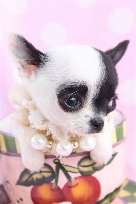 chihuahua puppies for sale in louisiana 1000 ideas about chihuahua puppies for sale on chihuahua puppies