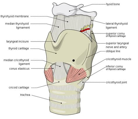 laryngectomy diagram larynx external image radiopaedia org