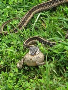 Garden Snake Habitat Snake Toad Snakes Snake Hibians
