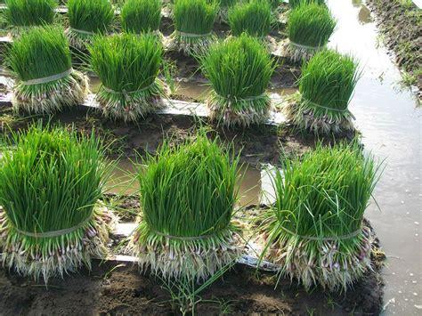 Bibit Daun Bawang Merah cara menanam dan budidaya bawang daun pertanian