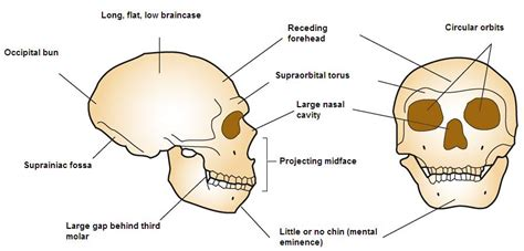 Fileneanderthal Cranial Anatomy Jpg Wikimedia Commons