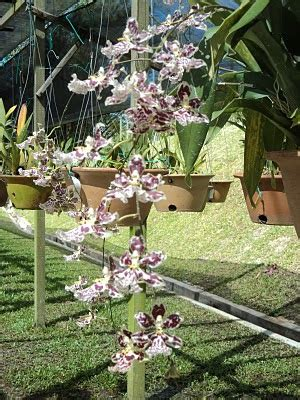 Lu Taman Standing 4 da of orchids hanging orchid sprays 1