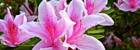 fiore lilla molto profumato azalee indiche