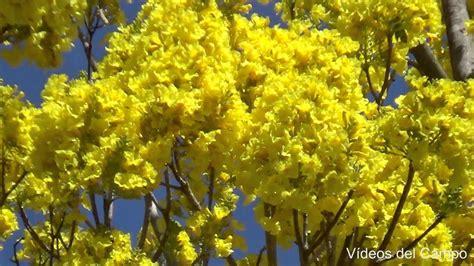 Imagenes De Flores Y Arboles   193 rbol de flores amarillas youtube