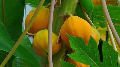 propiedades medicinales de la papaya botanica propiedades medicinales de la hoja de papaya beneficios