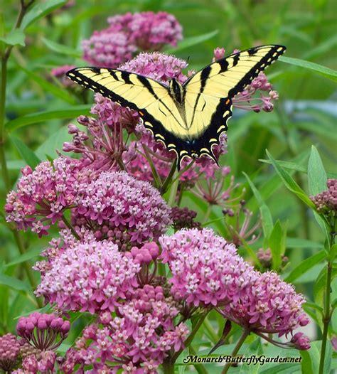 Canada Gardening Zones - asclepias incarnata swamp milkweed for monarch butterflies