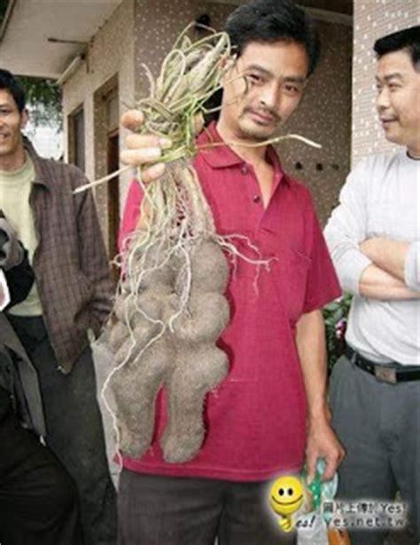 Obat Herbal Tongkat Ali cah kebumen beriman obat herbal tongkat ali pasak bumi