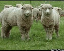 Anakan Kambing Merino peternakan kambing dan domba domba merino