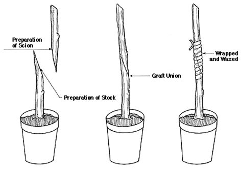 grafting diagram grafting and budding nursery crop plants nc state