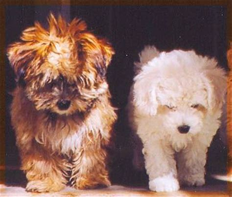 havanese origin 17 best images about 243 n habanero on puppys sheds and abyssinian cat