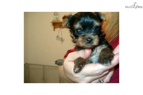 akc yorkie puppies for sale in fremont michigan pictures