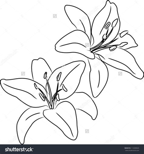 Home Depot Bathroom Designs two blooming asiatic lilies flowers vector sketch outline
