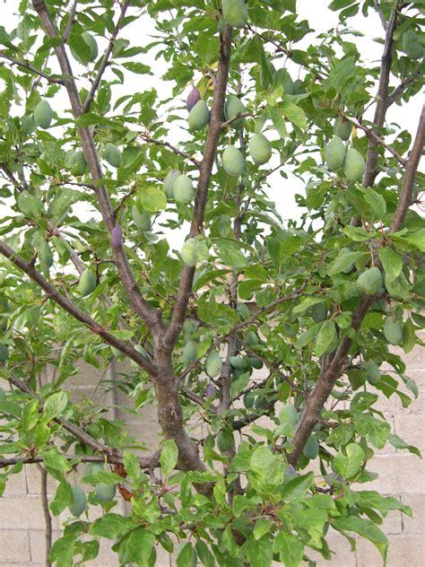 damson fruit trees file damson plum tree in kazanlak bulgaria jpg