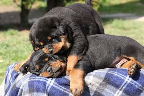 boy rottweiler names rottweiler names and names for rotties we names for boys and spikes