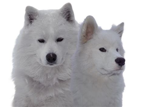 samoyed puppies colorado icecrown samoyeds samoyed breeder in colorado