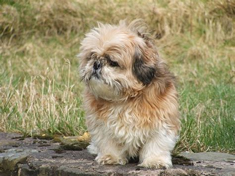 characteristics of a shih tzu comprehend the shih tzu temperament to the our dogs and us