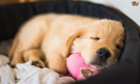 how many does a puppy need how much sleep do puppies actually need pets4homes