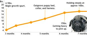 pug weight chart a day in the of a pug written by ms thinglink