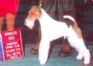 wire fox terrier puppies for sale near me fox terrier kennel photo