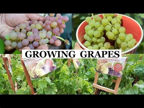 no fuss backyard grape growing pruning
