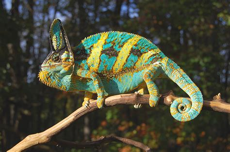 veiled chameleon changing colors baby veiled chameleons for sale with high yellow and blues