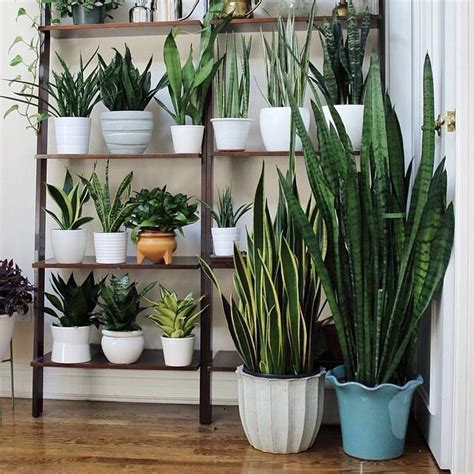 in door plant put in pot vide how to grow a snake plant in easiest way blog
