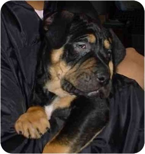 shar pei rottweiler mix puppies shar pei rottweiler mix puppies breeds picture
