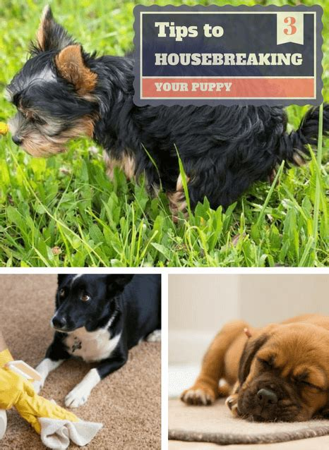 housebreaking a 3 easy to follow tips to housebreaking a puppy