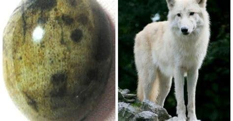 Batu Akik Gambar Serigala Putih juragan akik unik fosil galih kelor gambar serigala putih