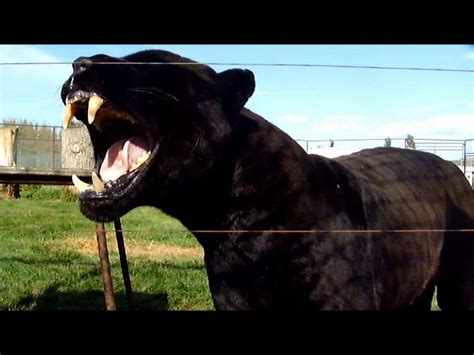 how to your not to growl magnum black jaguar growl