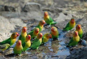 Burung Lovebird Hs acheterchaussurestodshommefa