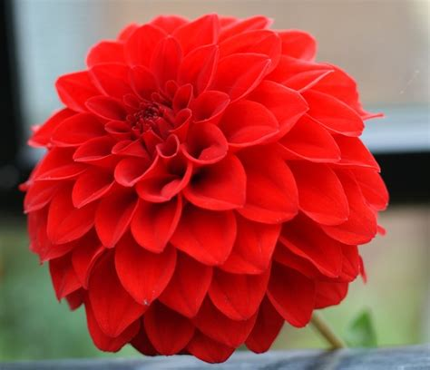 Pictures Of Gardens And Flowers by Pacific Bulb Society Dahlia Cultivars
