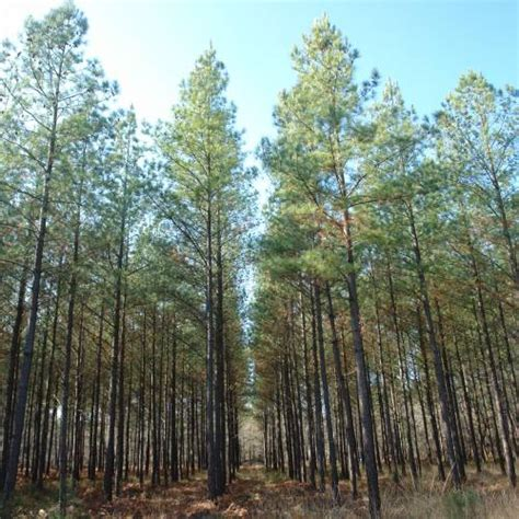 15 pine tree 40 achingly pine loblolly buy pine loblolly pinus taeda