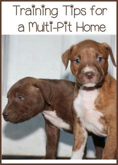 T Shirt Trainer Pittbull C puppy tips tips and pitbull on