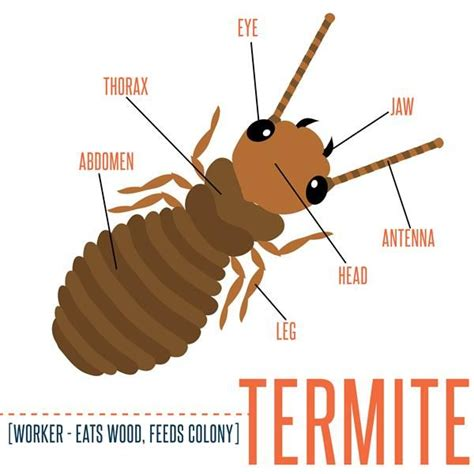 Well Labelled Diagram Of A Winged Termite