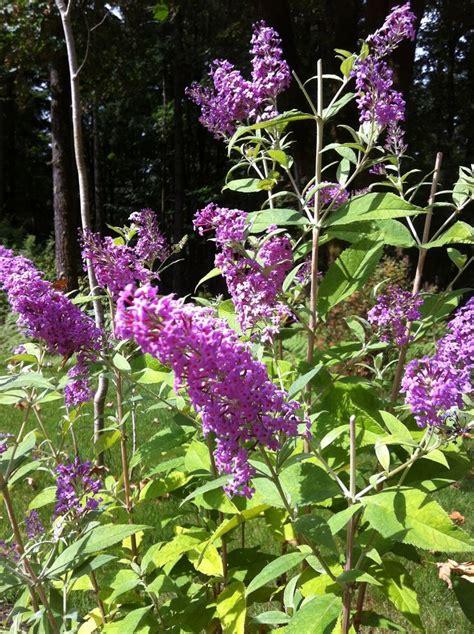 pin by mike wilczynski on deer resistant plants pinterest butterfly bush my style pinterest butterfly bush
