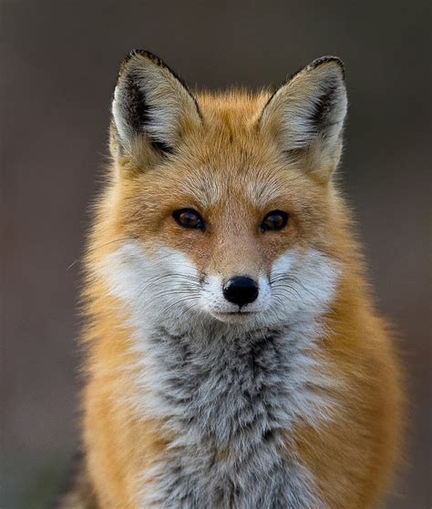 a fox shot his hunter in belorussia