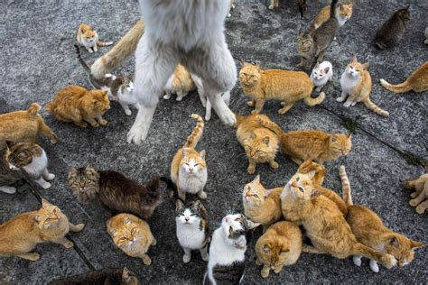 cat island japan aoshima island overrun by cats